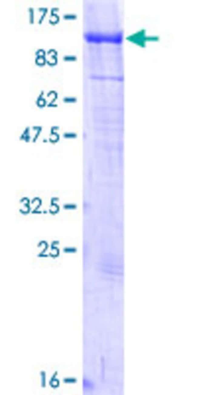AbnovaHuman KIF2C Full-length ORF (AAH14924.1, 1 a.a. - 725 a.a.) Recombinant