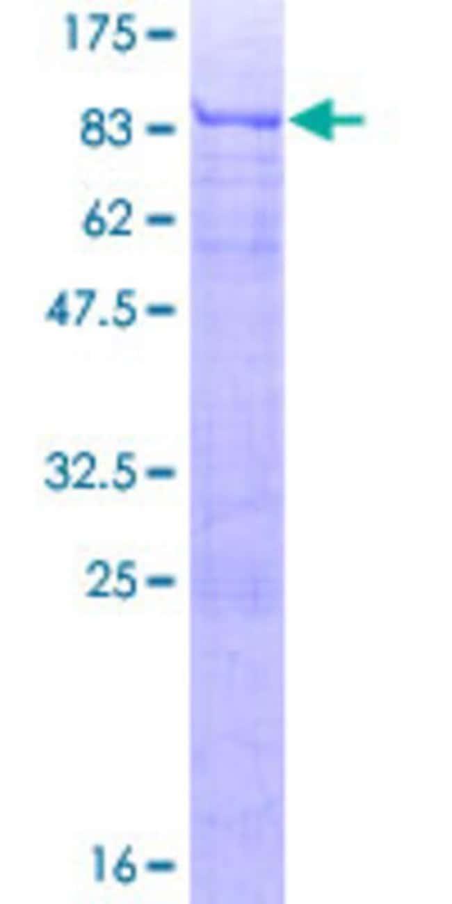AbnovaHuman ATF7 Full-length ORF (NP_006847.1, 1 a.a. - 483 a.a.) Recombinant