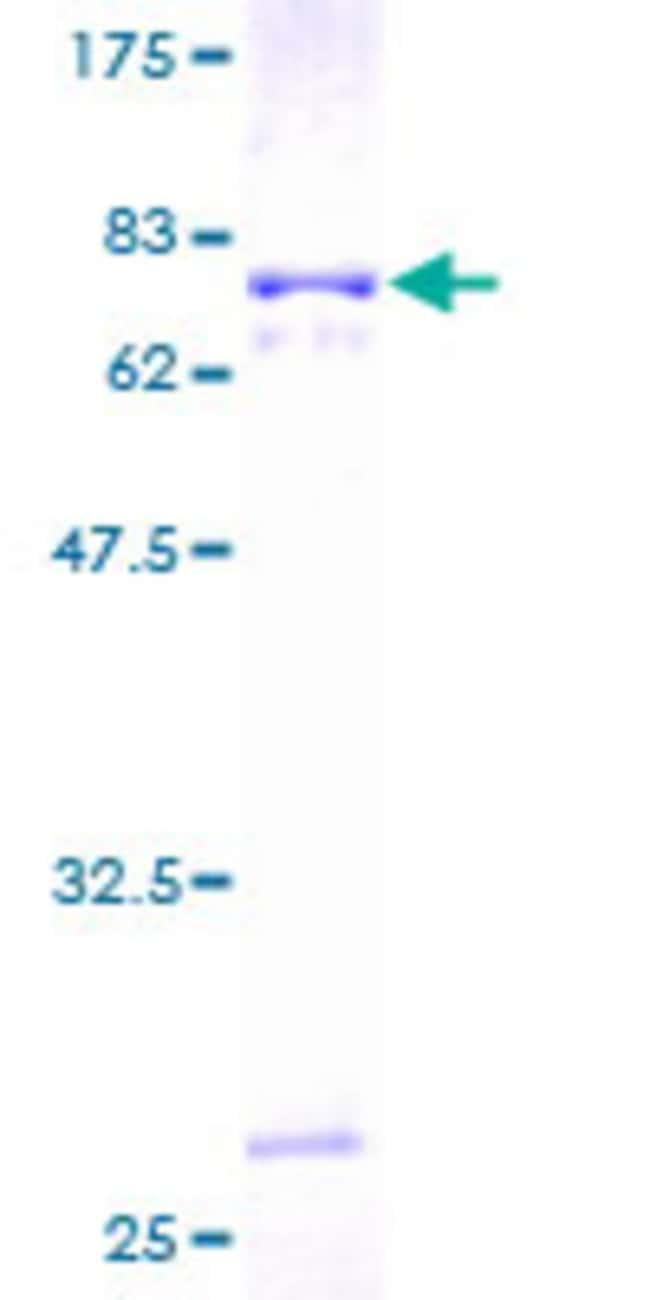 AbnovaHuman LILRA2 Full-length ORF (AAH27916.1, 1 a.a. - 466 a.a.) Recombinant