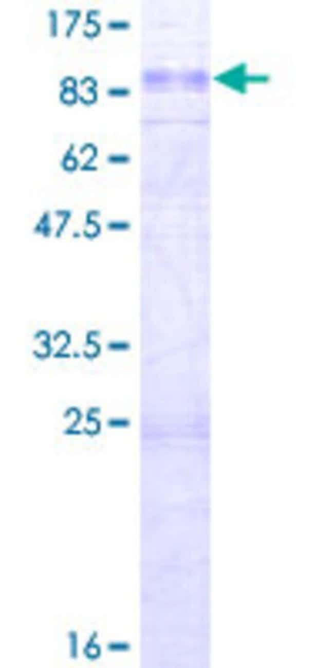 Abnova™Human STON1 Full-length ORF (NP_006864.2, 1 a.a. - 735 a.a.) Recombinant Protein with GST-tag at N-terminal 10μg Abnova™Human STON1 Full-length ORF (NP_006864.2, 1 a.a. - 735 a.a.) Recombinant Protein with GST-tag at N-terminal