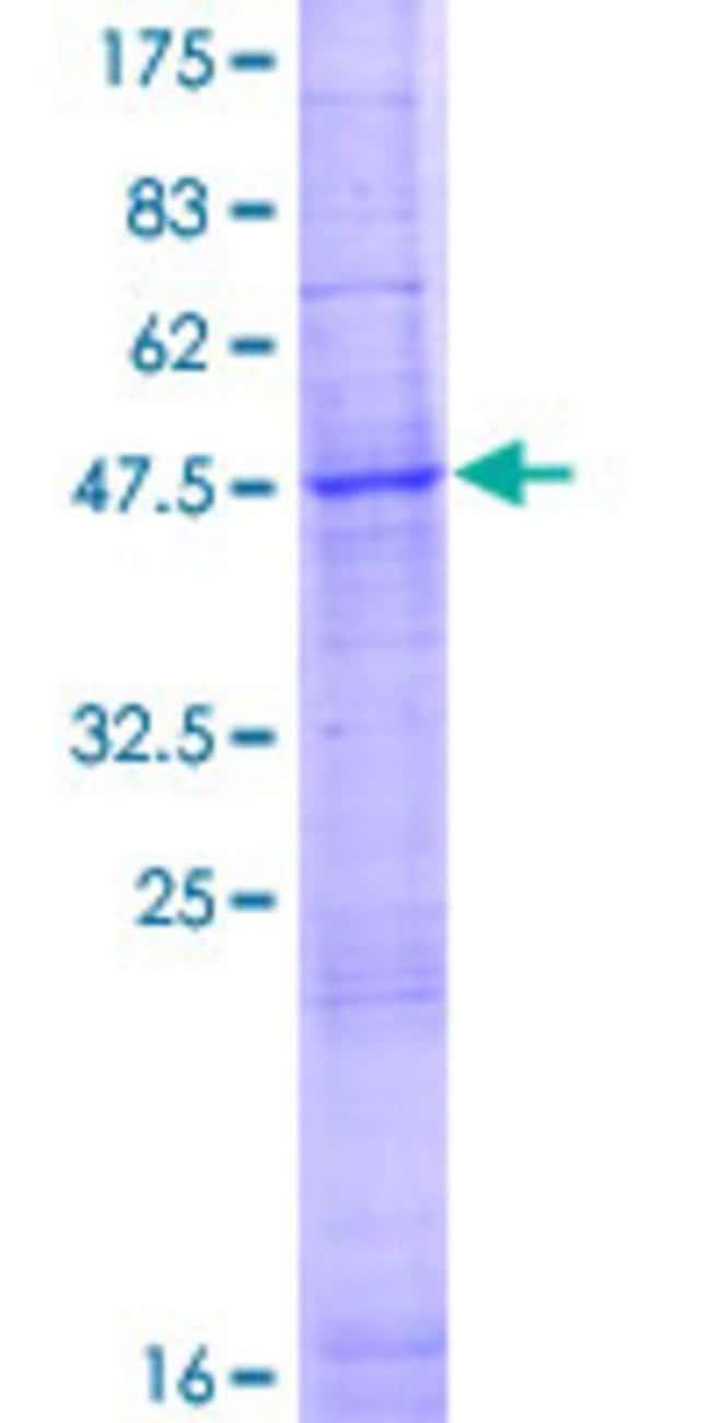 AbnovaHuman SLC35D2 Full-length ORF (AAI00279.1, 1 a.a. - 249 a.a.) Recombinant