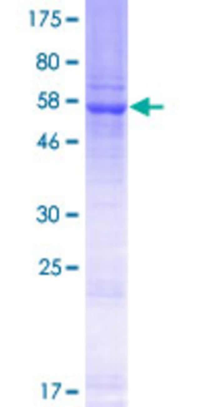 AbnovaHuman DUS4L Full-length ORF (NP_853559.1, 1 a.a. - 317 a.a.) Recombinant