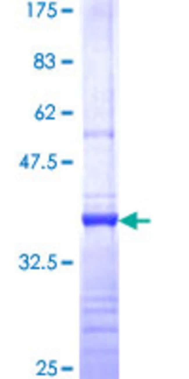 AbnovaHuman RPP14 Partial ORF (NP_008973, 1 a.a. - 75 a.a.) Recombinant