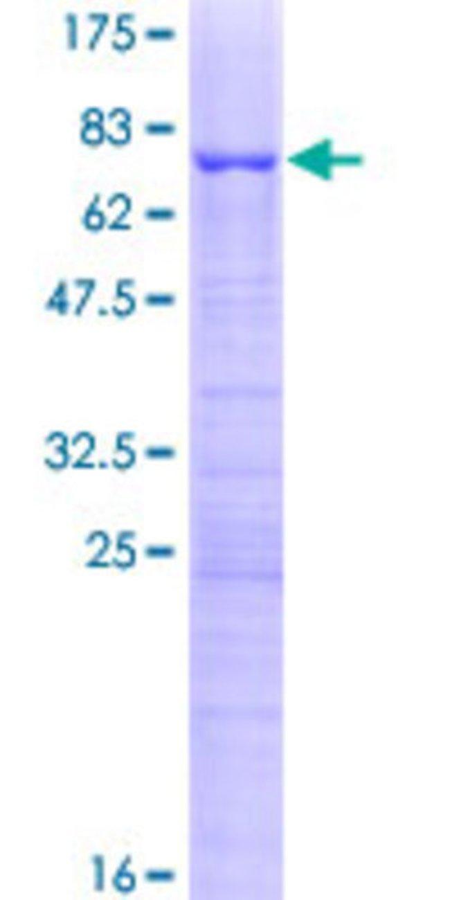 Abnova Human KRR1 Full-length ORF (AAH26107.1, 1 a.a. - 381 a.a.) Recombinant