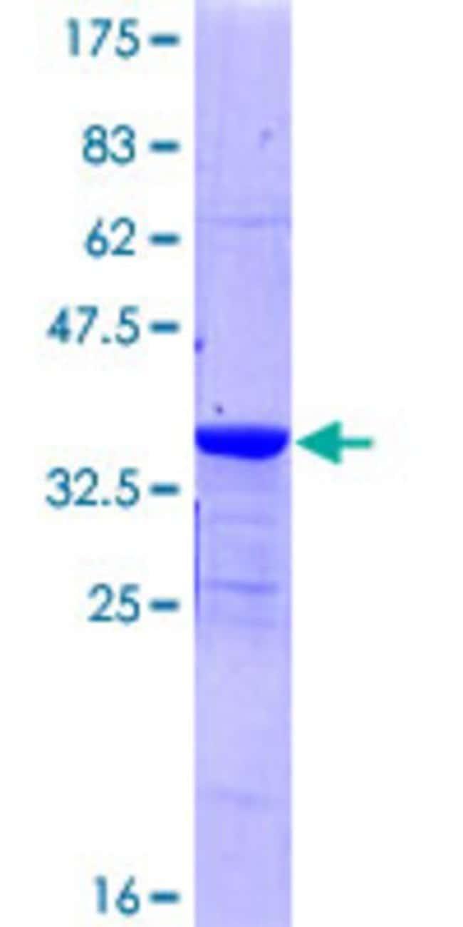 AbnovaHuman PKIG Full-length ORF (NP_008997.1, 1 a.a. - 76 a.a.) Recombinant