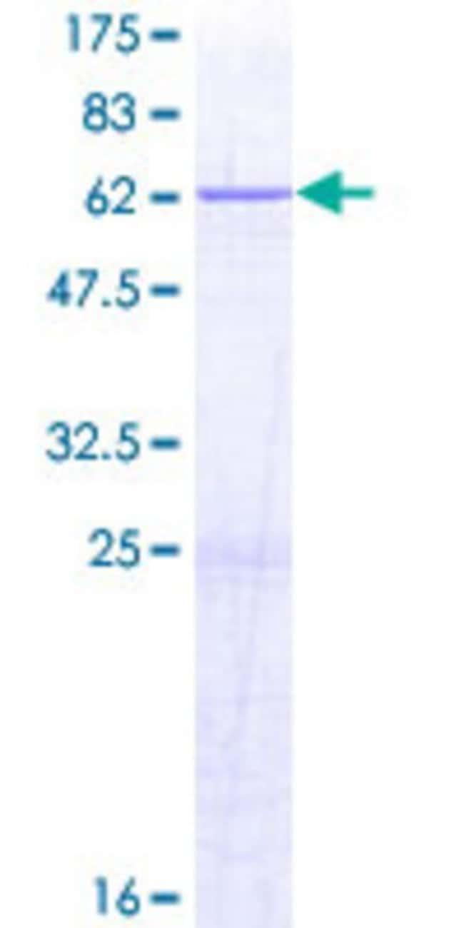 AbnovaHuman ERLIN2 Full-length ORF (NP_009106.1, 1 a.a. - 339 a.a.) Recombinant