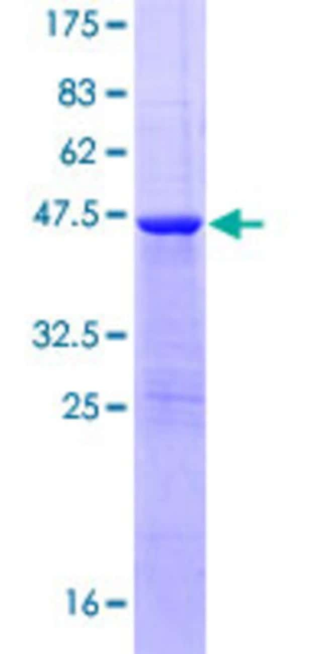 AbnovaHuman FAM107A Full-length ORF (NP_009108.1, 1 a.a. - 144 a.a.) Recombinant