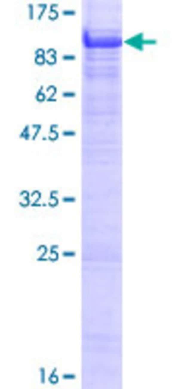 AbnovaHuman POLI Full-length ORF (AAH32662.1, 1 a.a. - 715 a.a.) Recombinant