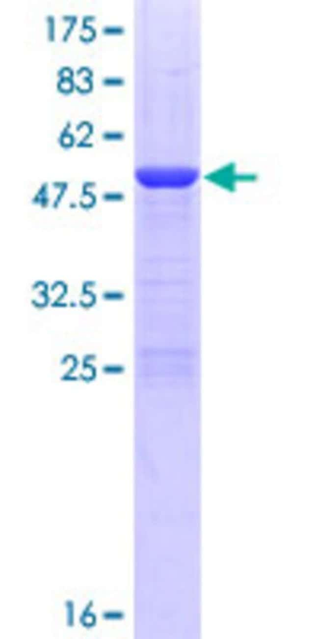 AbnovaHuman PDCD10 Full-length ORF (NP_009148.2, 1 a.a. - 212 a.a.) Recombinant