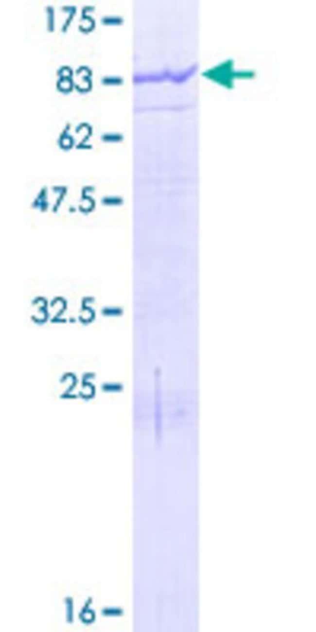 Abnova Human MGAT4B Full-length ORF (NP_463459.1, 1 a.a. - 563 a.a.) Recombinant