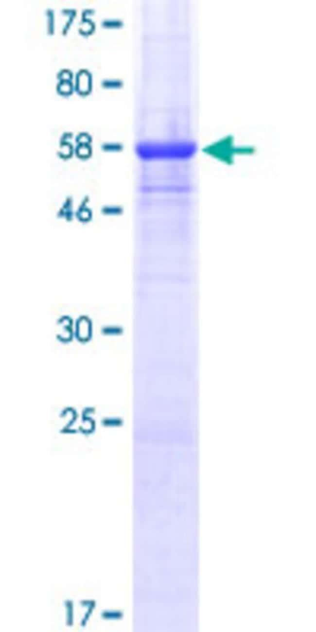 AbnovaHuman CD300A Full-length ORF (NP_009192.2, 1 a.a. - 299 a.a.) Recombinant