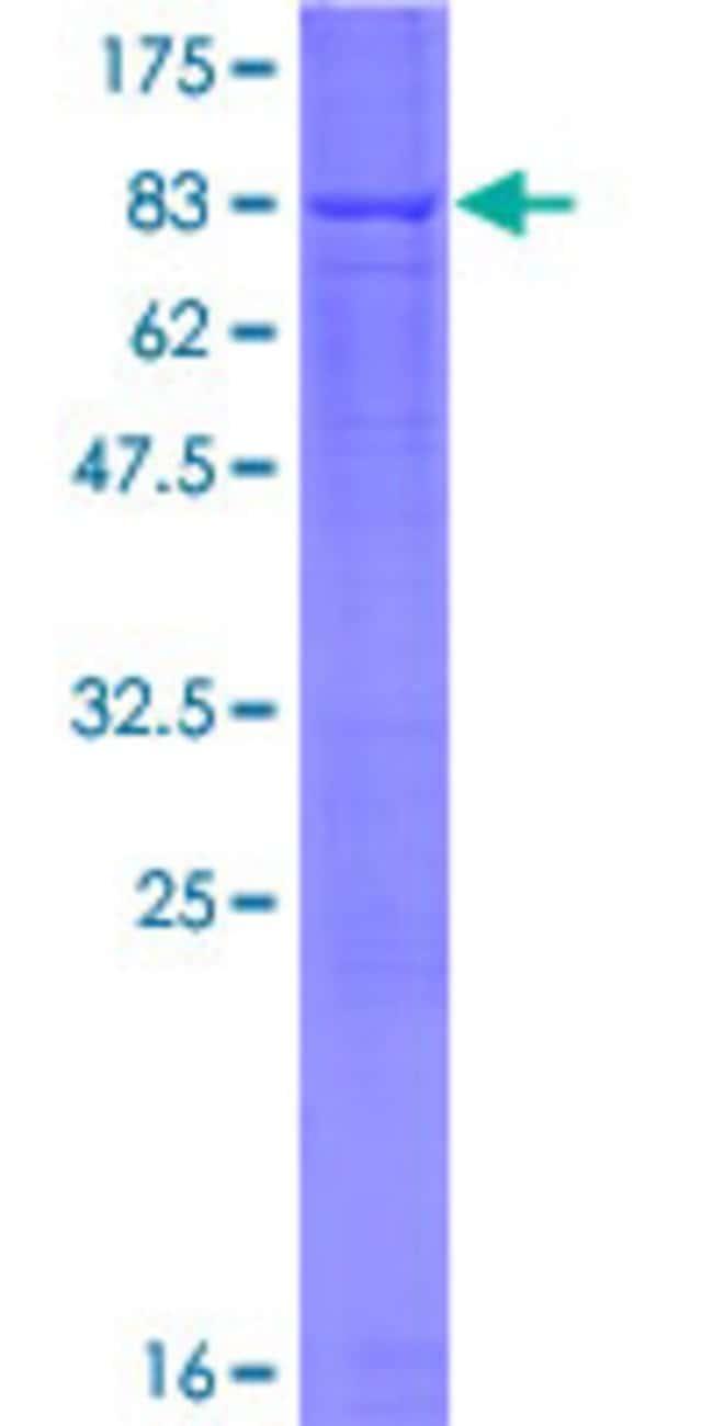 AbnovaHuman RBPJL Full-length ORF (NP_055091.2, 1 a.a. - 517 a.a.) Recombinant
