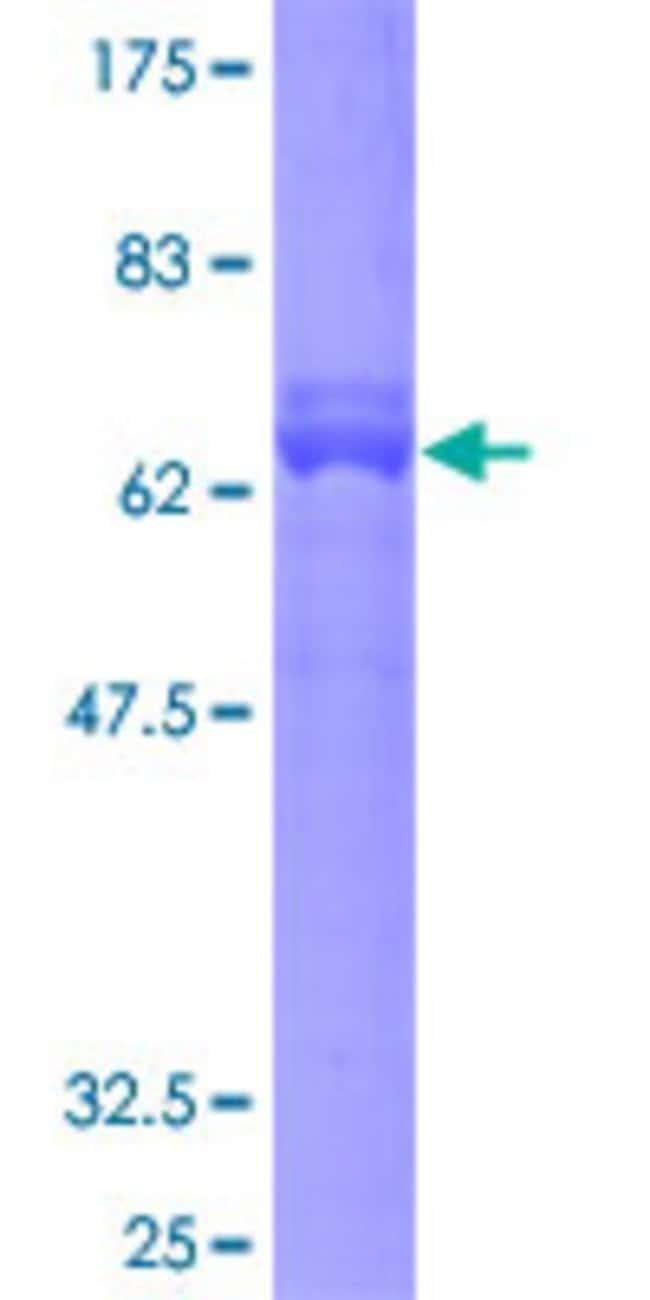 AbnovaHuman XAB1 Full-length ORF (NP_009197.1, 1 a.a. - 374 a.a.) Recombinant