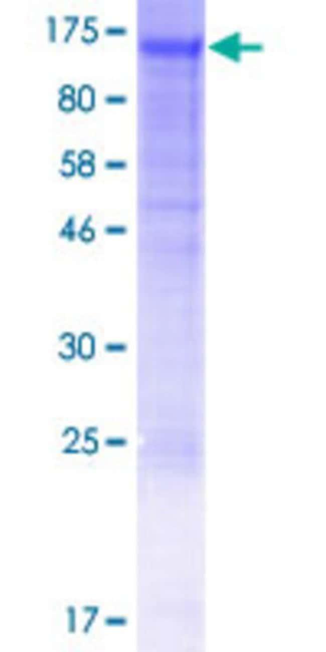 AbnovaHuman NID2 Full-length ORF (AAH35608.1, 1 a.a. - 969 a.a.) Recombinant