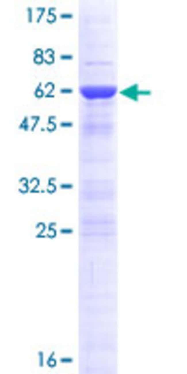 AbnovaHuman DNAJC8 Full-length ORF (NP_055095.2, 1 a.a. - 253 a.a.) Recombinant
