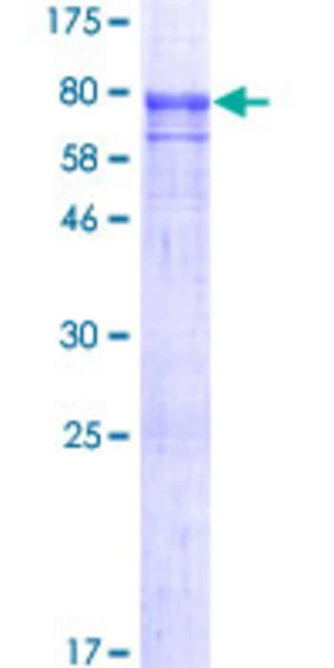 AbnovaHuman SEC31A Full-length ORF (AAH47883.1, 1 a.a. - 509 a.a.) Recombinant