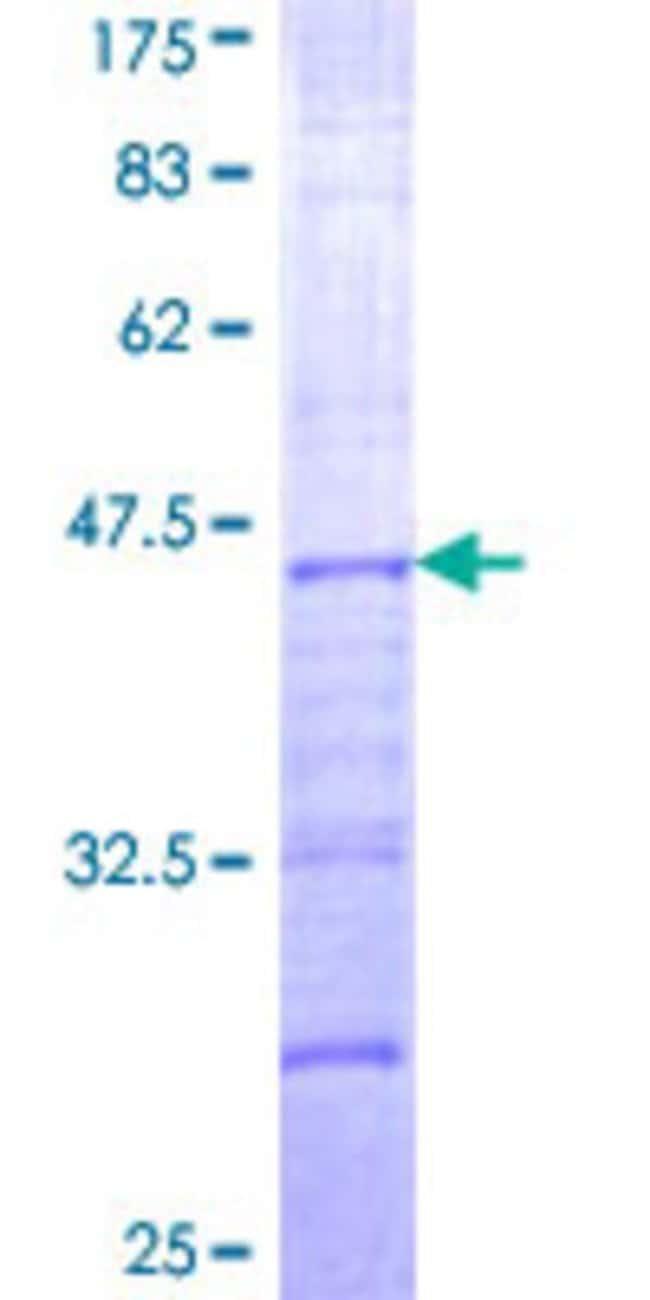 AbnovaHuman CLSTN1 Partial ORF (NP_001009566, 481 a.a. - 585 a.a.) Recombinant