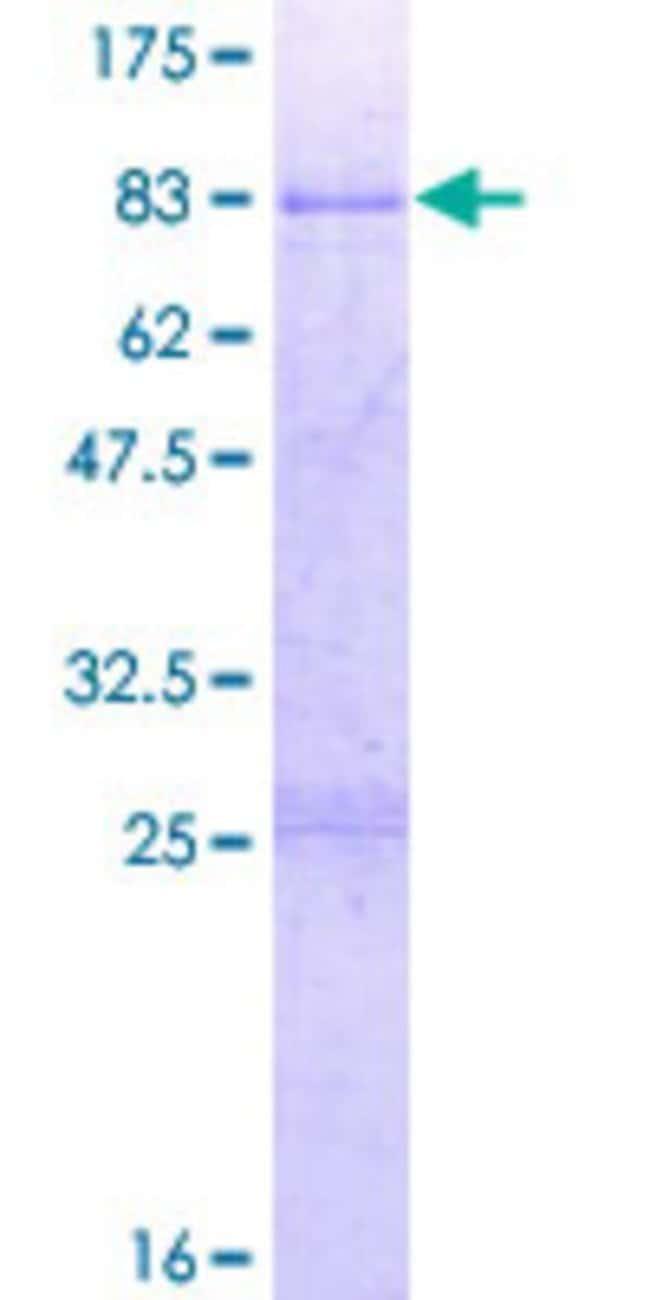AbnovaHuman ABLIM3 Full-length ORF (AAH01665.1, 1 a.a. - 544 a.a.) Recombinant