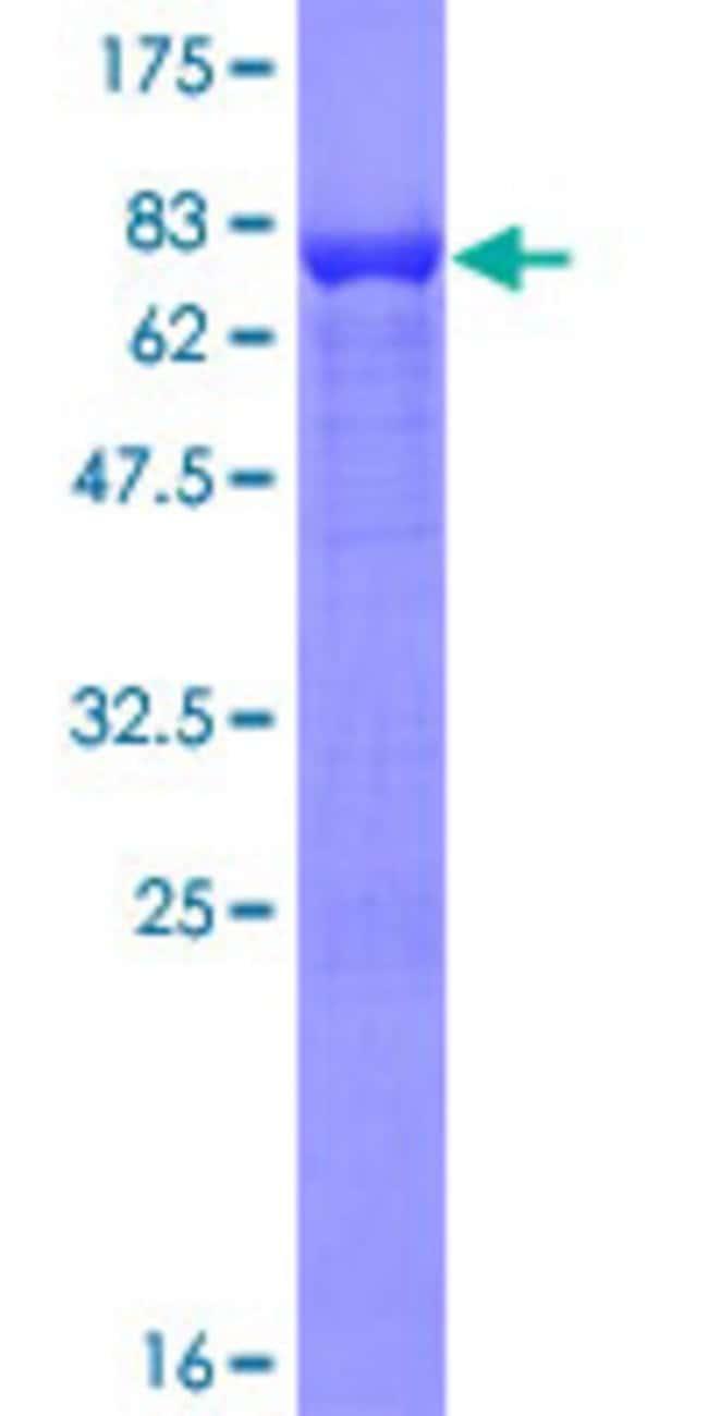 AbnovaHuman RUFY3 Full-length ORF (NP_055776.1, 1 a.a. - 469 a.a.) Recombinant