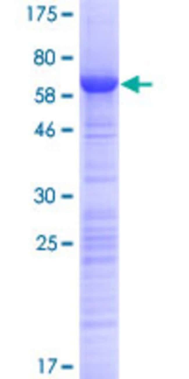 Abnova Human HABP4 Full-length ORF (AAH18788.1, 1 a.a. - 308 a.a.) Recombinant