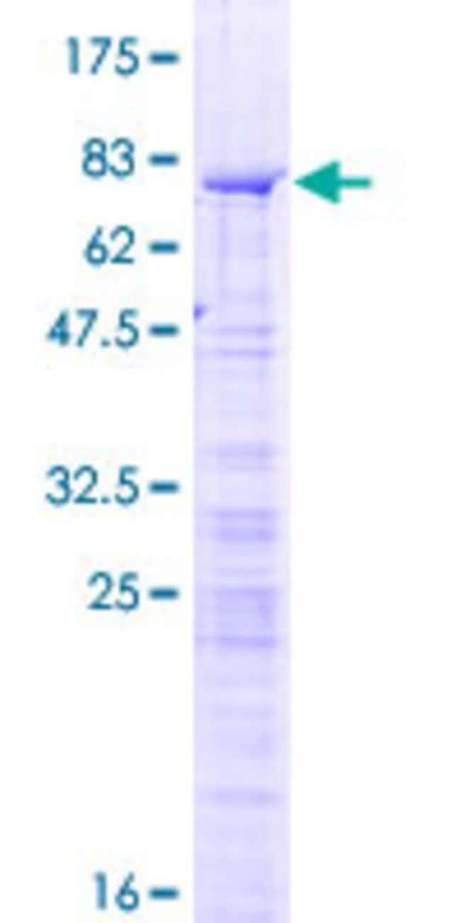 AbnovaHuman RBM34 Full-length ORF (NP_055829.1, 1 a.a. - 425 a.a.) Recombinant