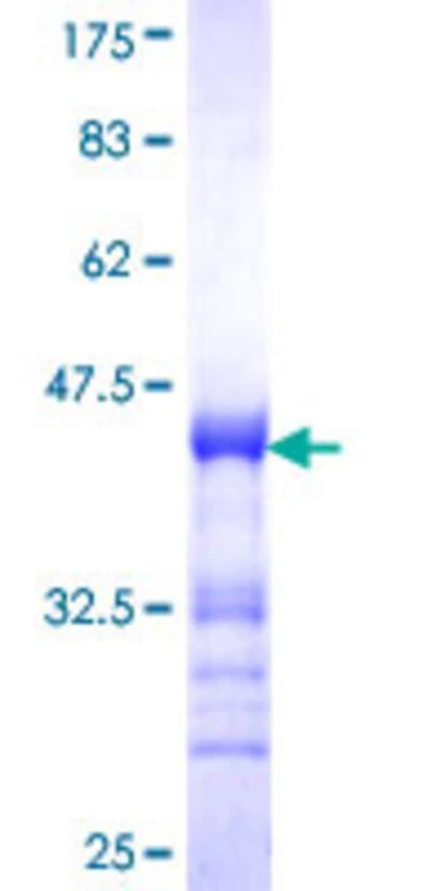 AbnovaHuman MYT1L Partial ORF (NP_055840, 301 a.a. - 410 a.a.) Recombinant