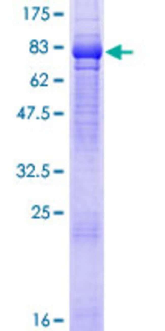 AbnovaHuman TNIK Full-length ORF (AAH55427.1, 1 a.a. - 538 a.a.) Recombinant