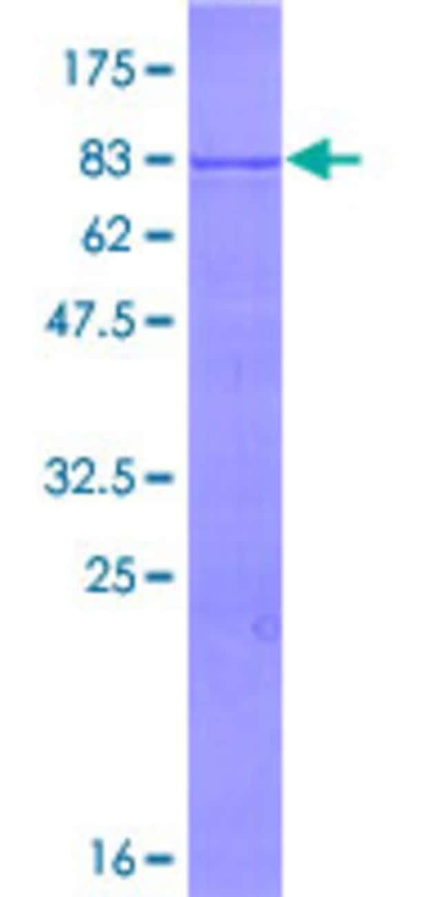 AbnovaHuman TRIM35 Full-length ORF (NP_741983.2, 1 a.a. - 493 a.a.) Recombinant