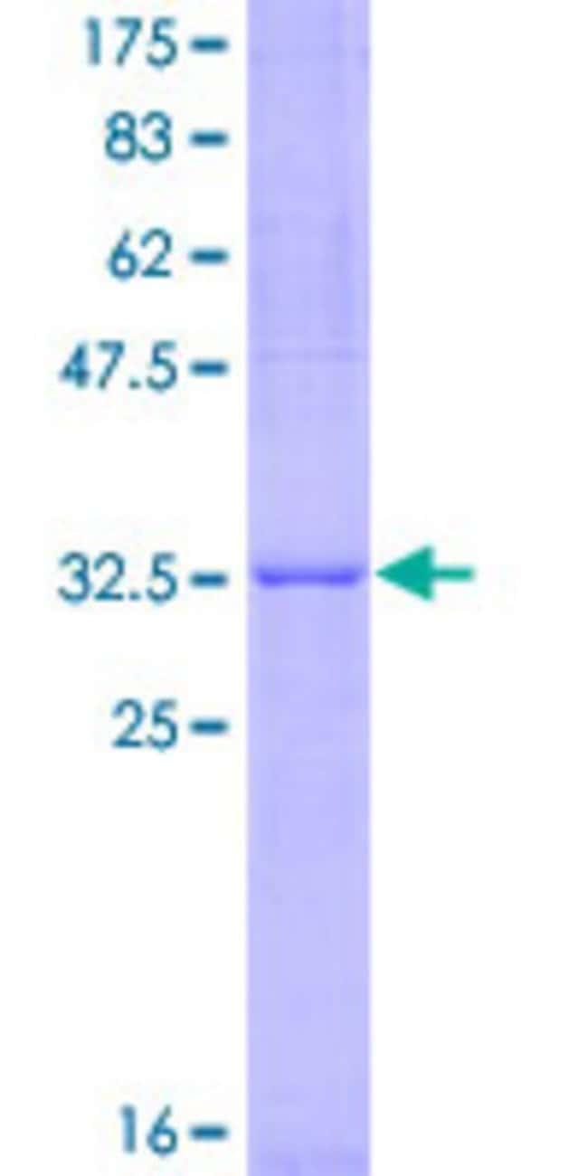 AbnovaHuman ARHGAP26 Partial ORF (NP_055886, 249 a.a. - 336 a.a.) Recombinant