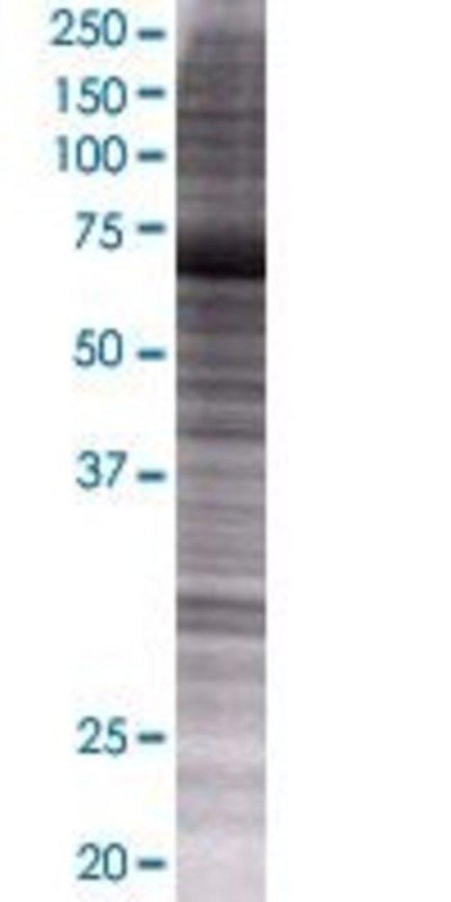Abnova KIF1B 293T Cell Transient Overexpression Lysate (Denatured) 100µL:Life