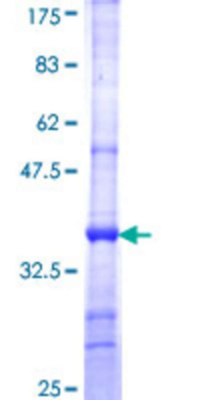 AbnovaHuman NCDN Partial ORF (NP_001014839, 312 a.a. - 411 a.a.) Recombinant