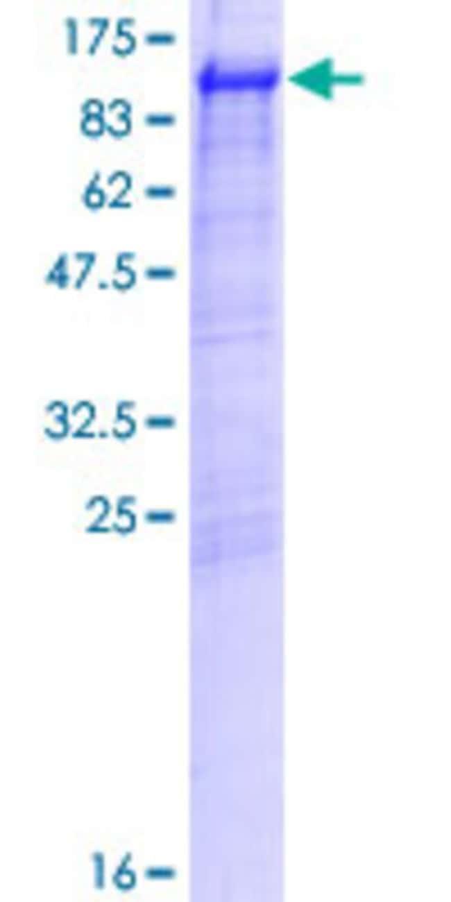 AbnovaHuman GGA3 Full-length ORF (AAH70044.1, 1 a.a. - 690 a.a.) Recombinant