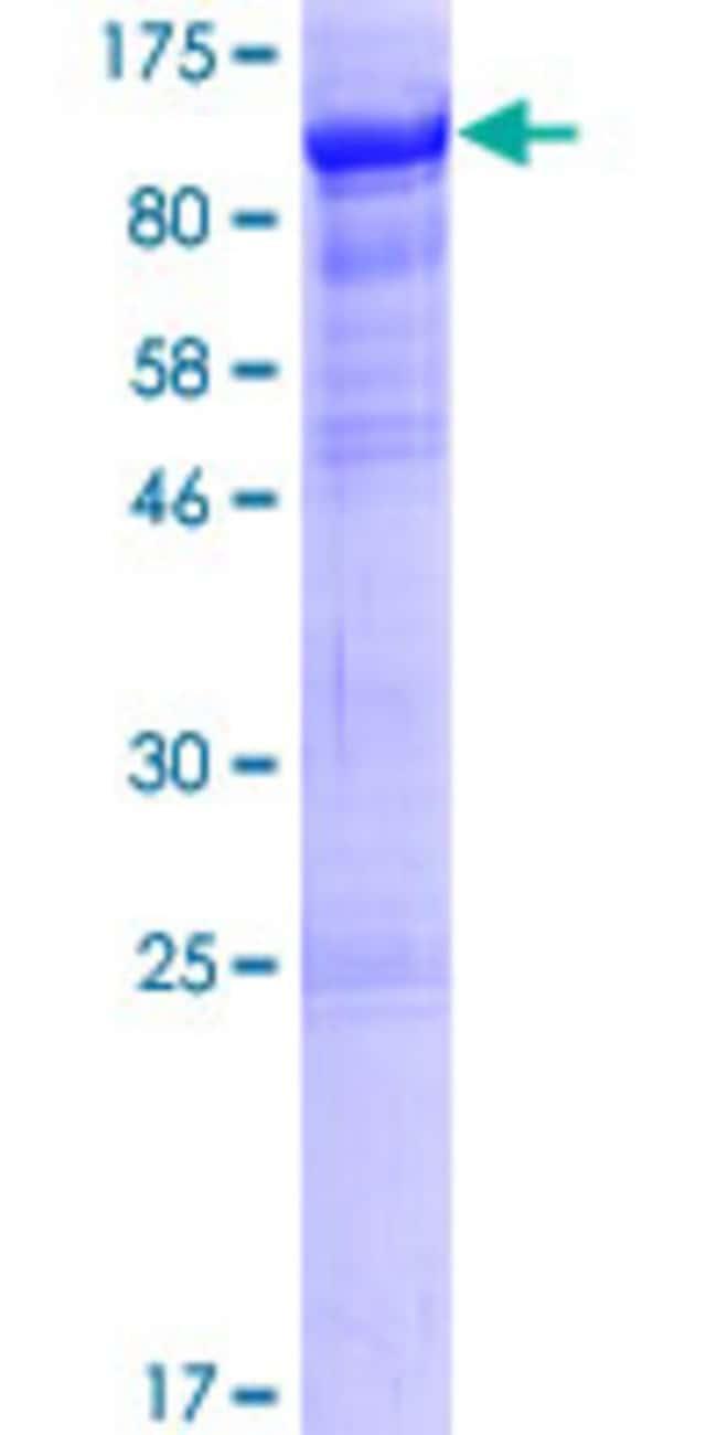 AbnovaHuman RTF1 Full-length ORF (NP_055953.1, 1 a.a. - 585 a.a.) Recombinant