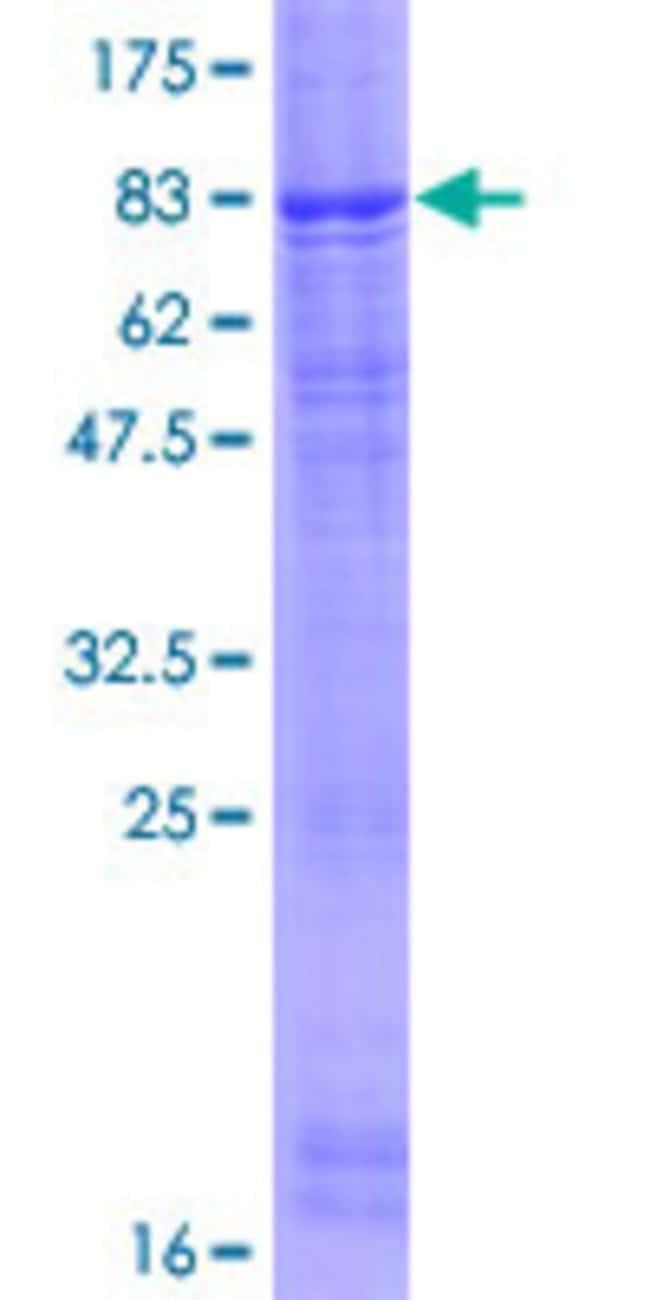 AbnovaHuman FBXL7 Full-length ORF (NP_036436.1, 1 a.a. - 491 a.a.) Recombinant