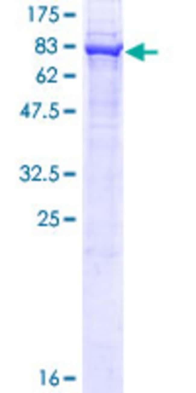 AbnovaHuman UBXD8 Full-length ORF (NP_055428.1, 1 a.a. - 445 a.a.) Recombinant