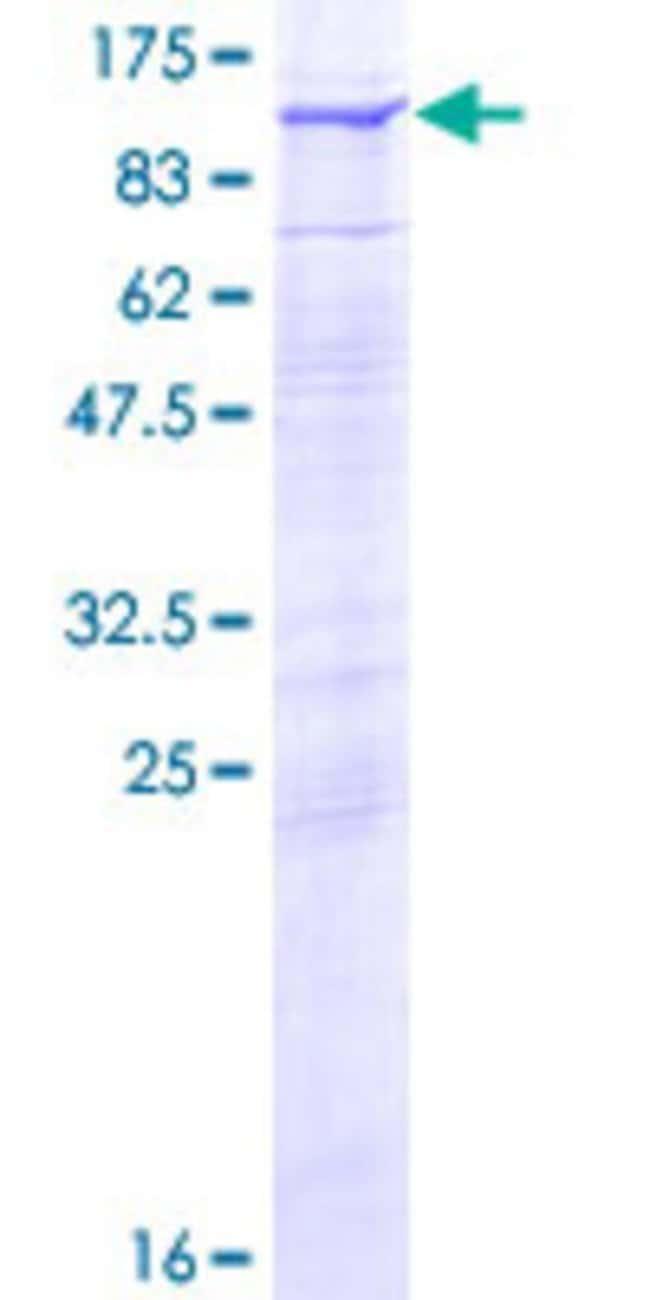 AbnovaHuman RHOBTB2 Full-length ORF (AAH34917.1, 1 a.a. - 727 a.a.) Recombinant