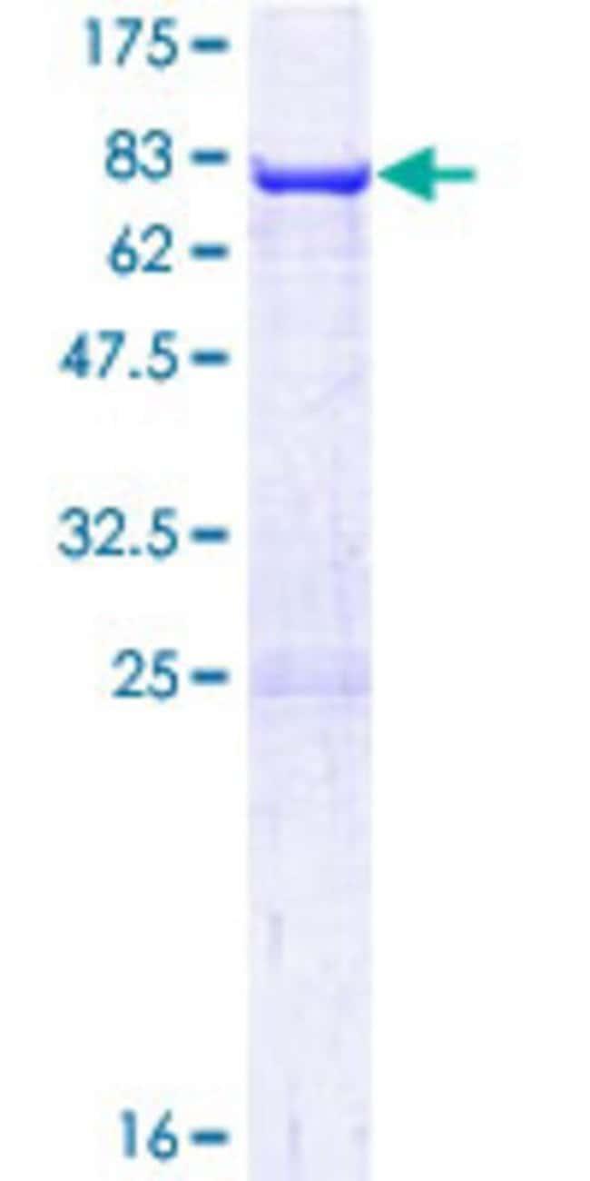 AbnovaHuman ARC Full-length ORF (NP_056008.1, 1 a.a. - 396 a.a.) Recombinant