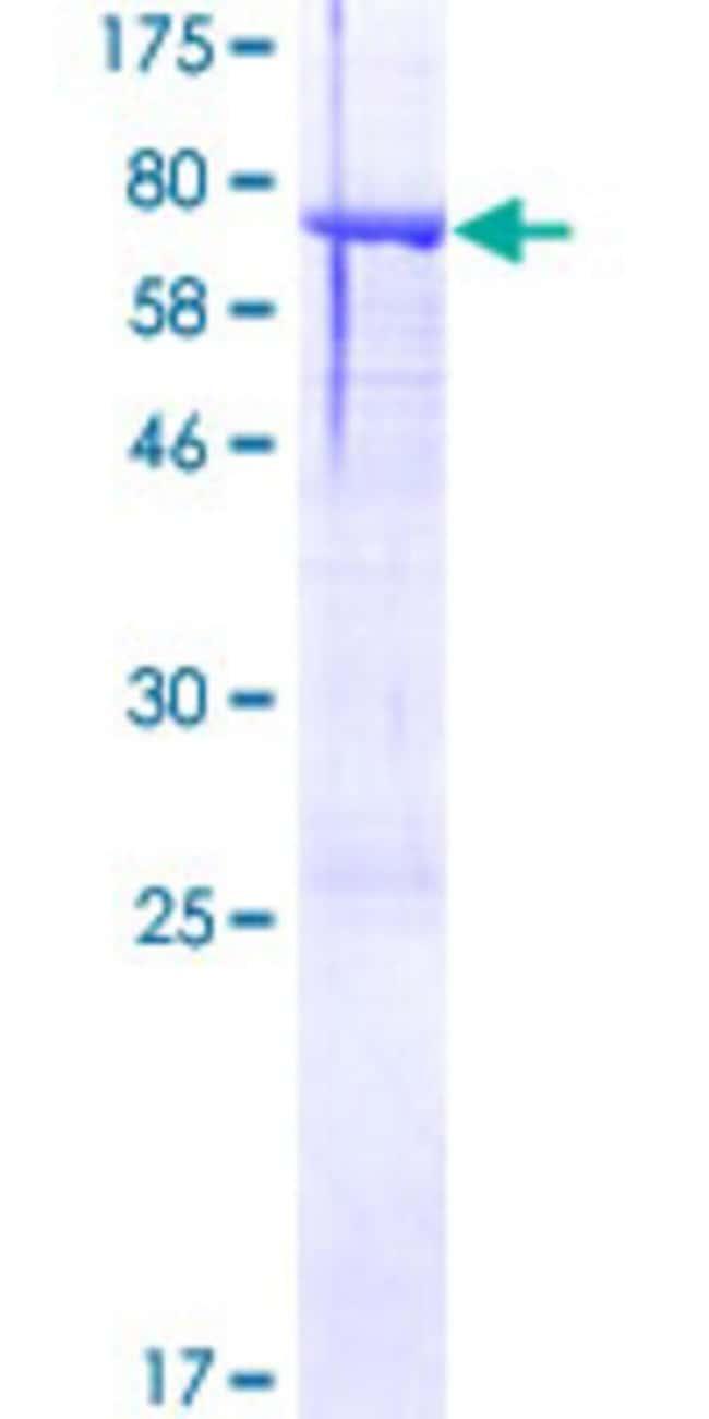 AbnovaHuman ASTN2 Full-length ORF (AAH29272.1, 1 a.a. - 440 a.a.) Recombinant