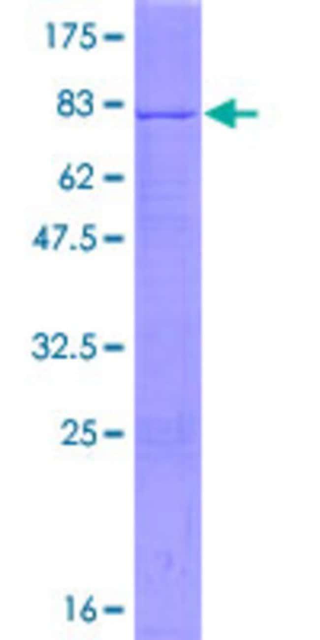 AbnovaHuman POFUT2 Full-length ORF (NP_598368.2, 1 a.a. - 429 a.a.) Recombinant