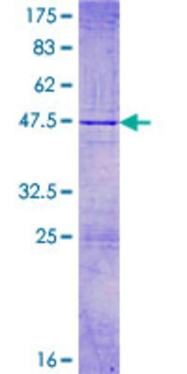 Abnova™Human KIBRA Full-length ORF (AAH42553.1, 1 a.a. - 172 a.a.) Recombinant Protein with GST-tag at N-terminal 10μg Abnova™Human KIBRA Full-length ORF (AAH42553.1, 1 a.a. - 172 a.a.) Recombinant Protein with GST-tag at N-terminal