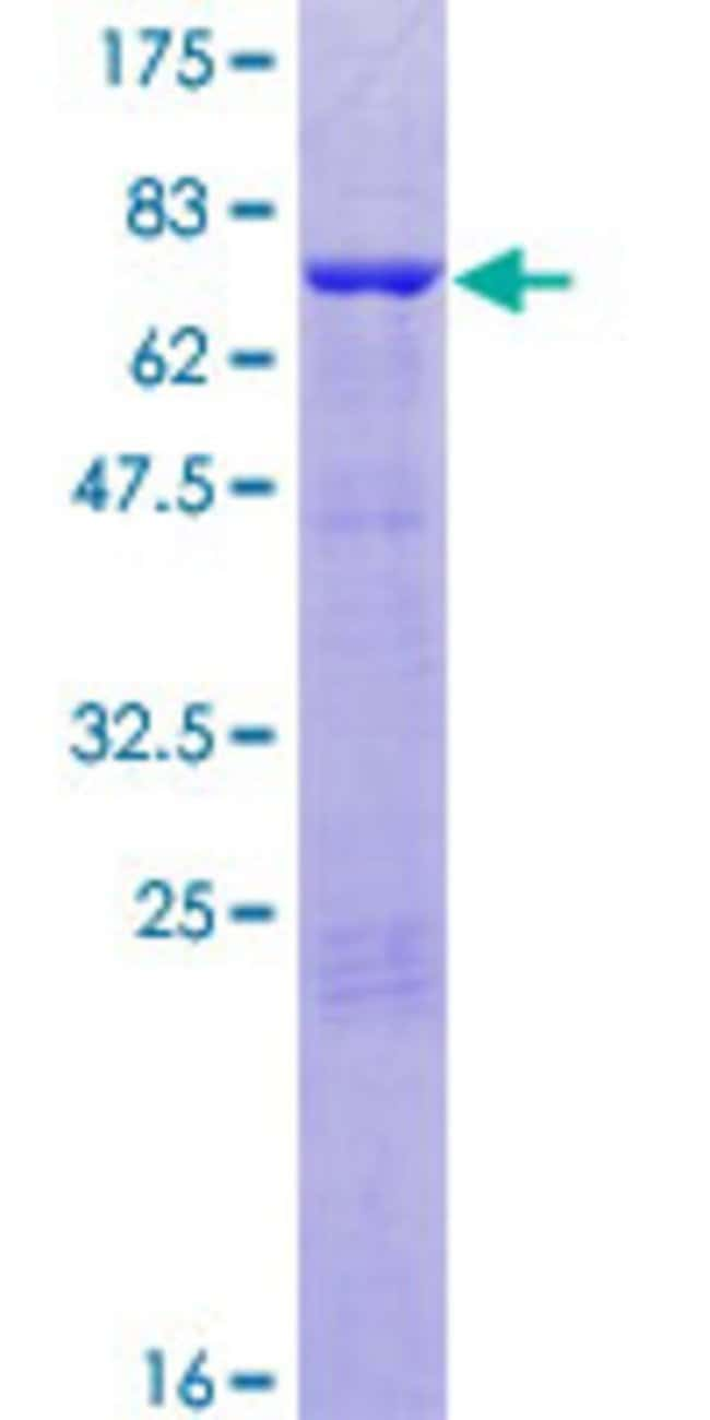 Abnova™Human ANKS1A Full-length ORF (AAH49213.1, 1 a.a. - 460 a.a.) Recombinant Protein with GST-tag at N-terminal 10μg Abnova™Human ANKS1A Full-length ORF (AAH49213.1, 1 a.a. - 460 a.a.) Recombinant Protein with GST-tag at N-terminal