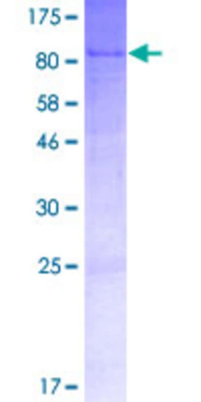 Abnova Human WSCD1 Full-length ORF (AAH09975.1, 1 a.a. - 575 a.a.) Recombinant