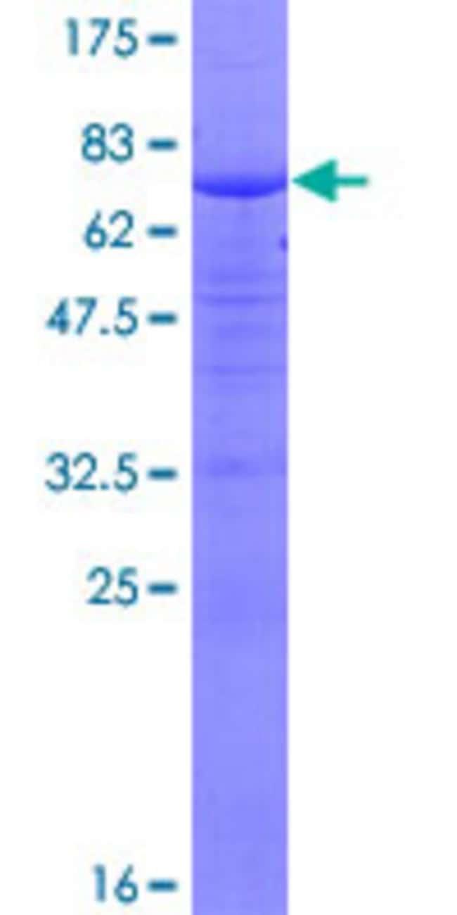 AbnovaHuman ZCCHC11 Full-length ORF (AAH48301.1, 1 a.a. - 309 a.a.) Recombinant