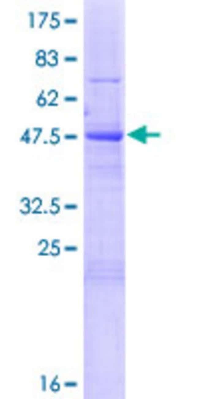 Abnova Human KIAA0892 Full-length ORF (NP_056144.2, 1 a.a. - 218 a.a.)
