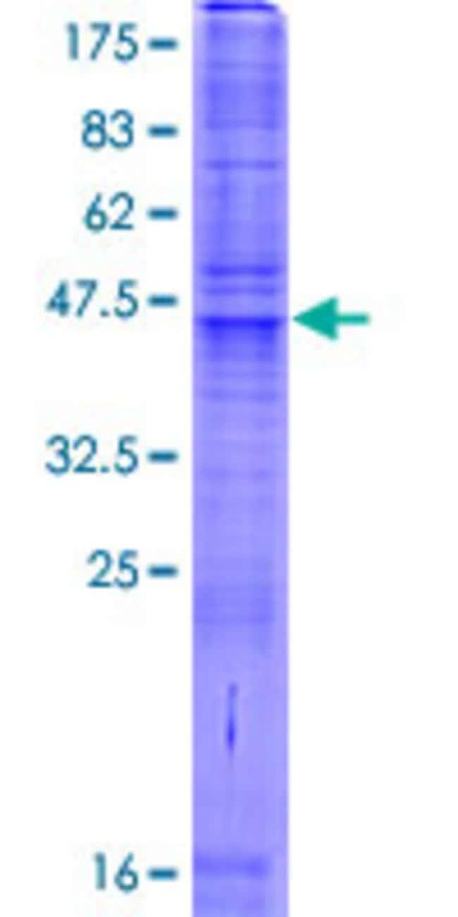 AbnovaHuman SLC35A3 Full-length ORF (AAH05136.1, 1 a.a. - 220 a.a.) Recombinant