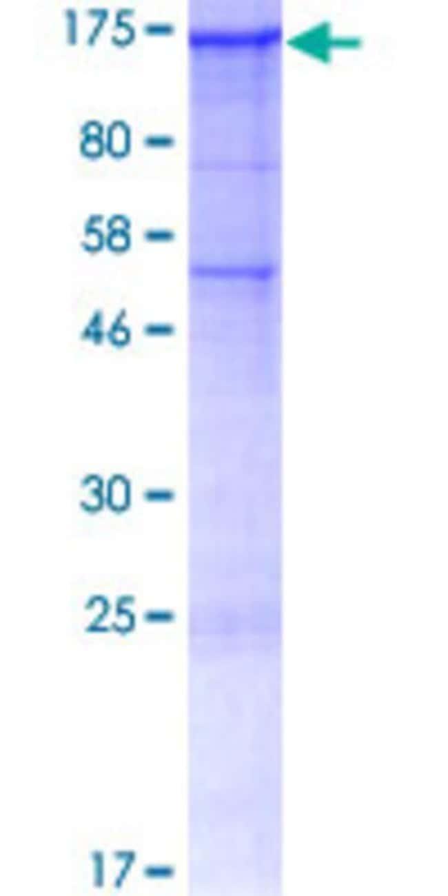 AbnovaHuman SEZ6L Full-length ORF (CAK54604.1, 1 a.a. - 948 a.a.) Recombinant