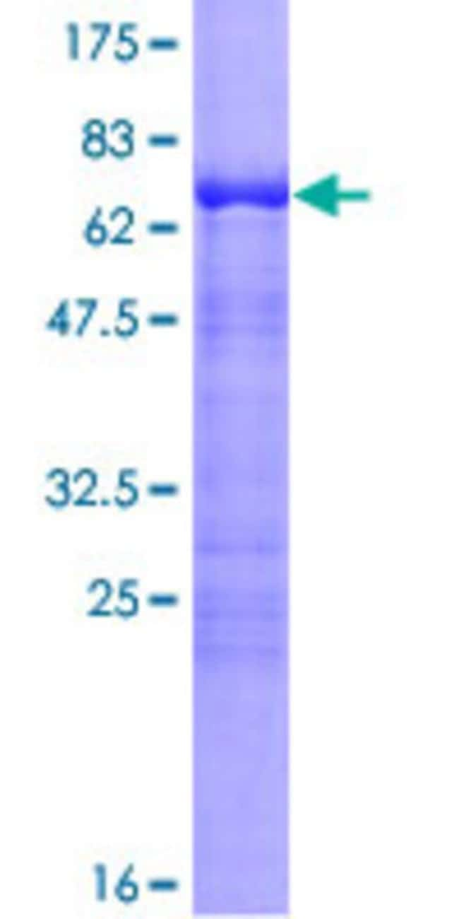 Abnova™Human CDC42EP4 Full-length ORF (NP_036253.2, 1 a.a. - 356 a.a.) Recombinant Protein with GST-tag at N-terminal 10μg Abnova™Human CDC42EP4 Full-length ORF (NP_036253.2, 1 a.a. - 356 a.a.) Recombinant Protein with GST-tag at N-terminal