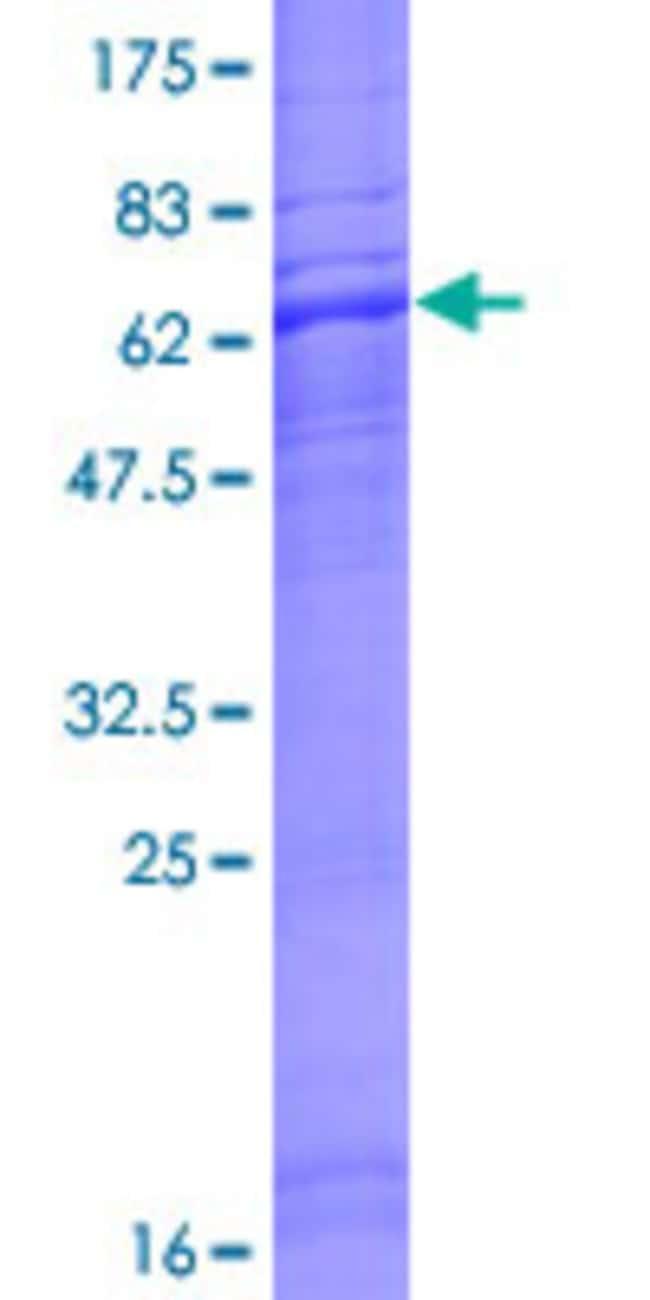 AbnovaHuman NTSR2 Full-length ORF (AAH37776.1, 1 a.a. - 384 a.a.) Recombinant