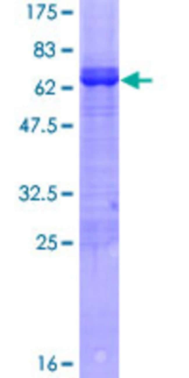 AbnovaHuman ARFIP2 Full-length ORF (NP_036534.1, 1 a.a. - 341 a.a.) Recombinant