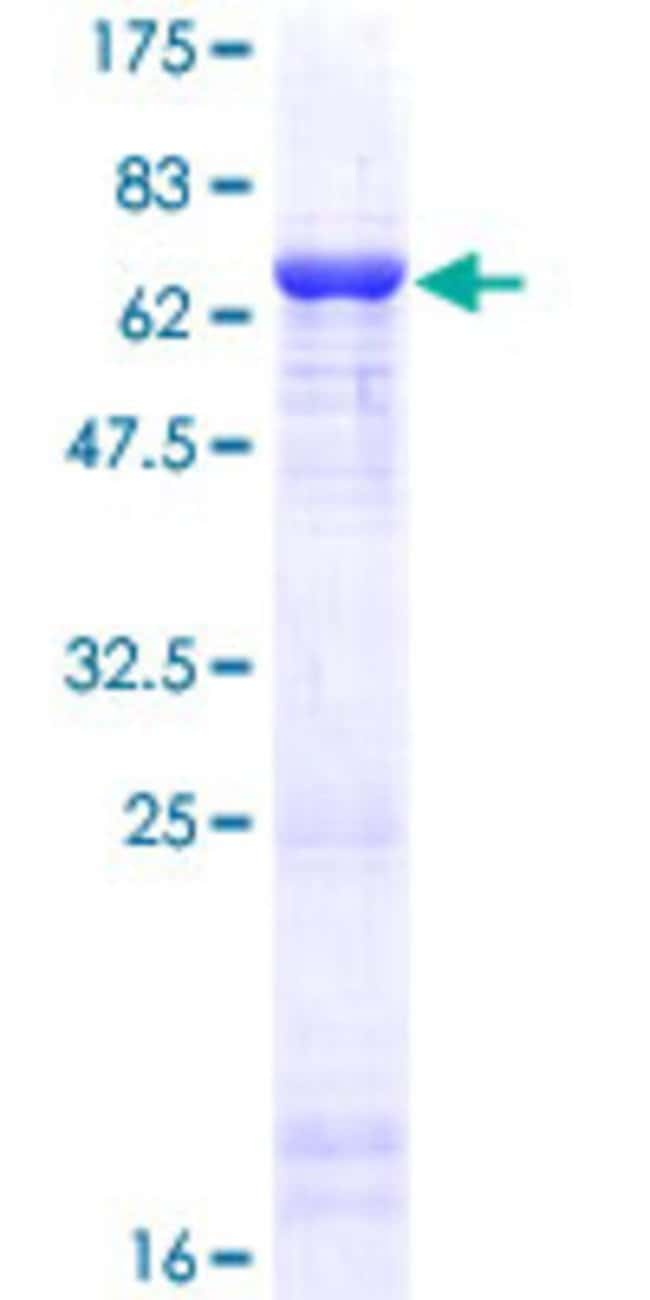 AbnovaHuman BHMT2 Full-length ORF (NP_060084.2, 1 a.a. - 363 a.a.) Recombinant